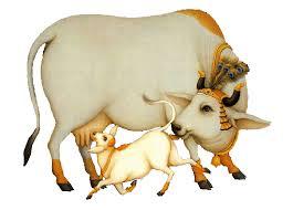 Gir Calf