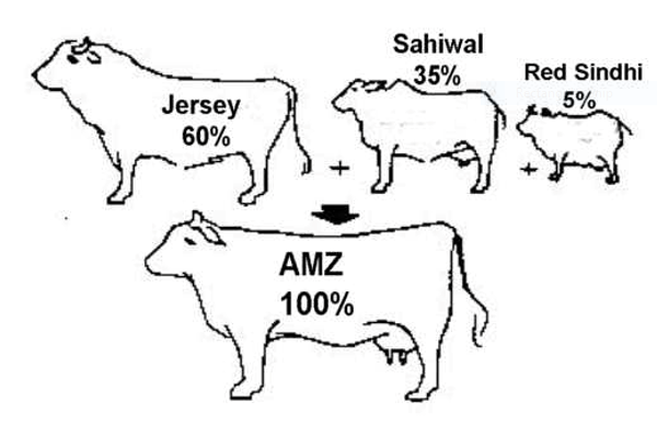 Development of Australian Milking Zebu