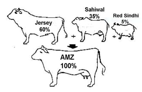 Development of Australian Milking Zebu