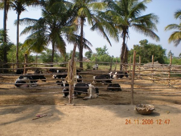 Cow Housing Important to Ensure Cow Comfort, Optimum Fertility and Productivity