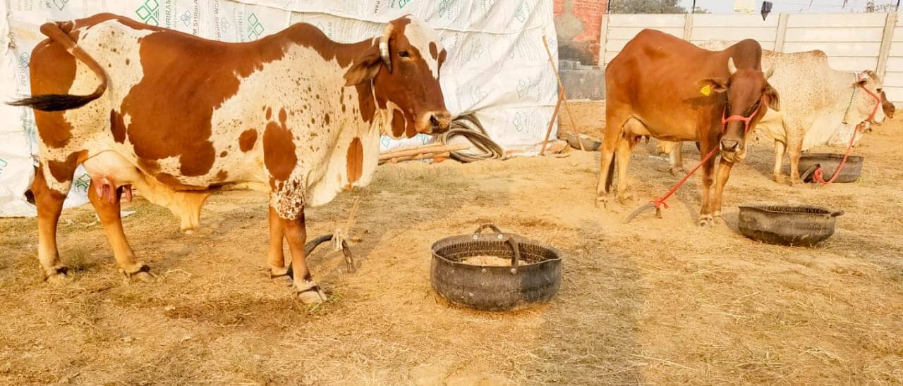 Tying or Tethering Animal is Cruelty Unknowingly Inflicted on Cows