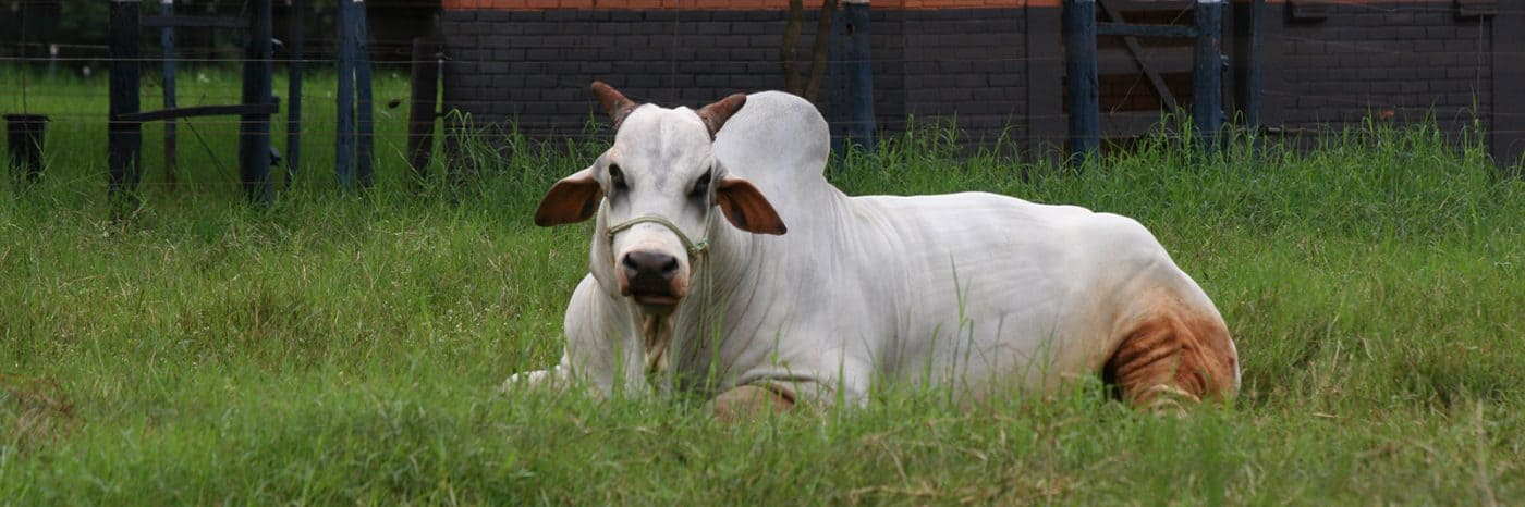Important Sexually Transmitted Diseases from Bulls to Cows