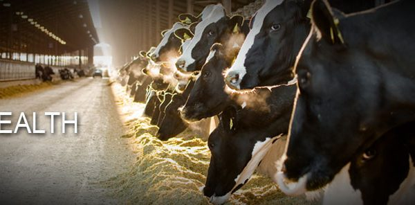 More Saliva Secretion - Healthy Rumen - Efficient Milk Production in Cows