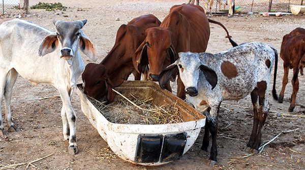 Feeding Urea to Cows: Source of Protein