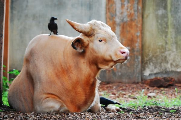 Genome Sequencing of Mithun prove it to be a descendant of a cross between male Wild Gaur and Cow