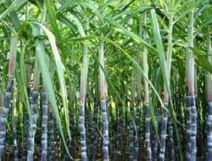 Sugarcane Tops