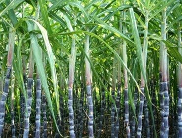 Can Sugarcane be Fed to Cattle
