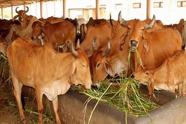 બ્રાઝીલની ભારતીય વંશની ગાય અને ભેંસની ઓલાદ સુધારણા માટે તૈયારી