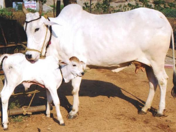 Hariana Breed Cow Produces Record Milk Yield