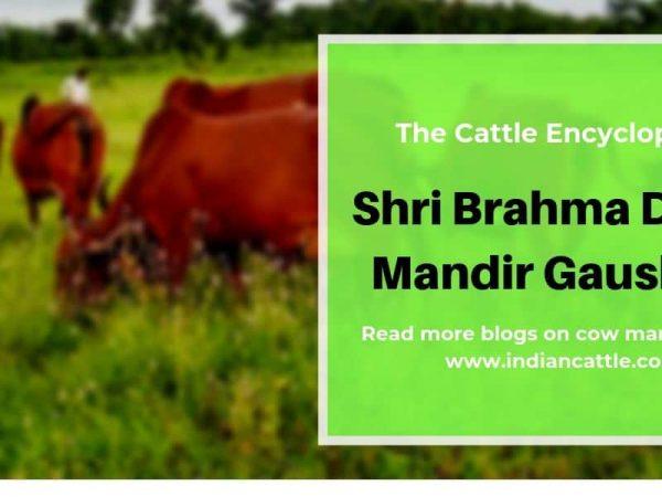 Shri Brahma Dham Mandir Gaushala