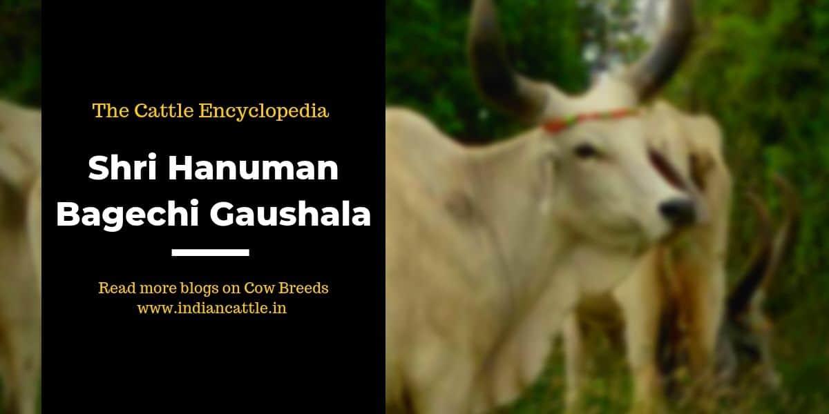 shri hanuman bagechi gaushala