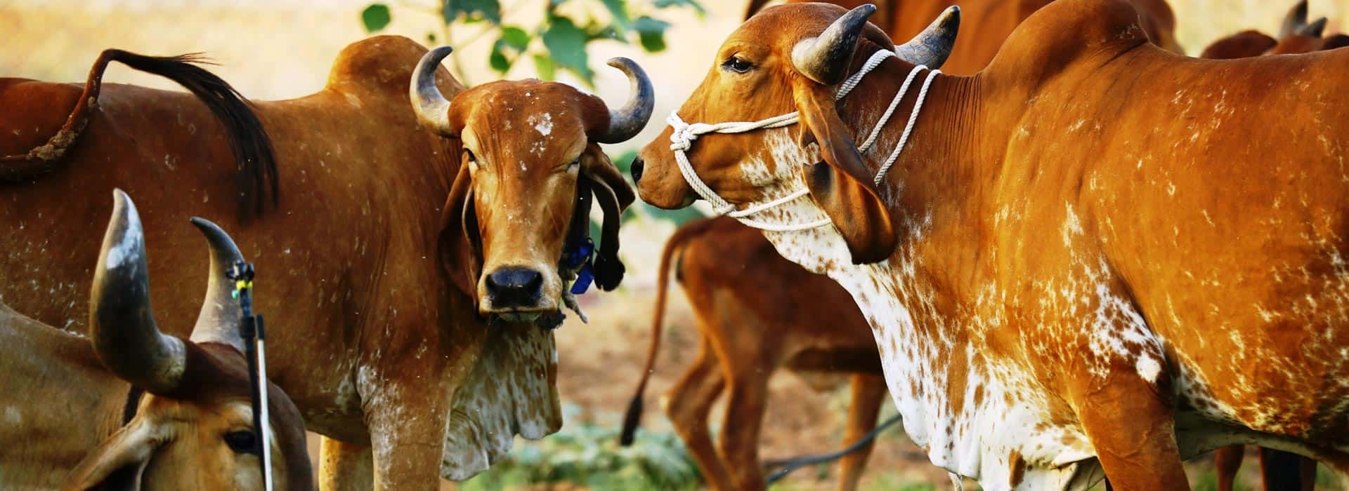 Medicinal and mythological importance of Indian cow