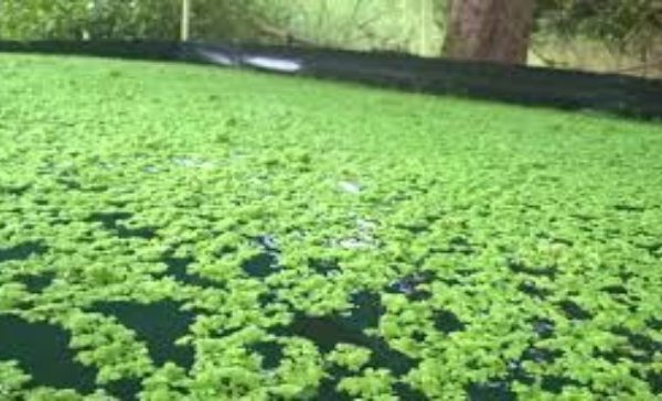 Azolla Cultivation