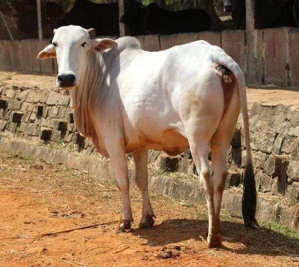Gaolao Cattle Breed