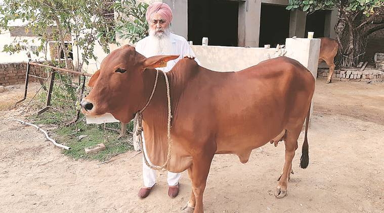 Sahiwal Cow Sale