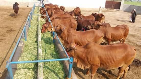 high fiber cattle feed