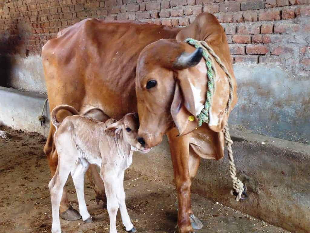 Milk Fever in Cattle