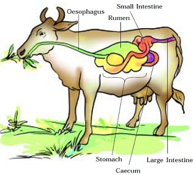 Digestive System of Ruminant