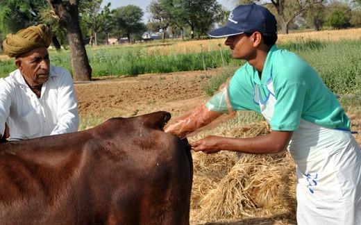 AI in cattle