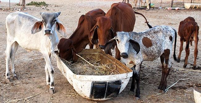 Urea Feeding to cattle