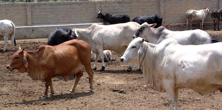 Purchasing Dairy Cattle