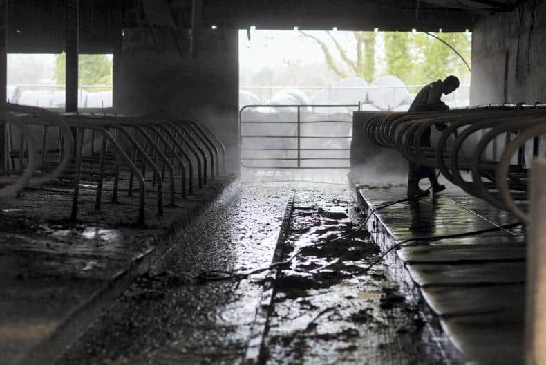 cleaning cattle shed
