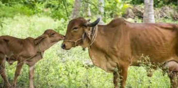 gir cow breed