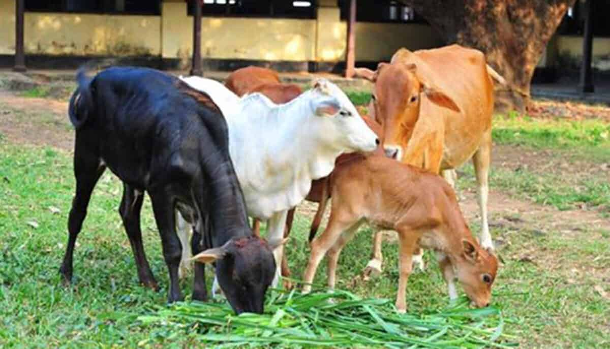 vechur cattle group