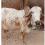 Kabri Gir Cow