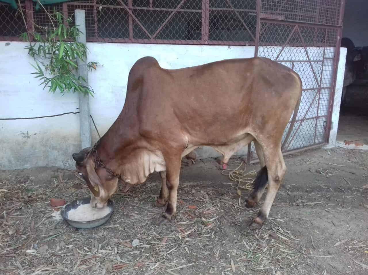Gir Calf Mahesh